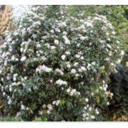 Arbuste haut persistant viburnum tinus