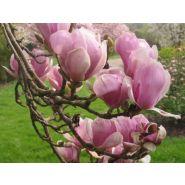 Magnolia x soulangiana 'alexandrina'