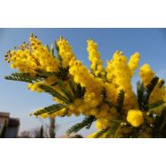 MIMOSA DEALBATA GAULOIS BOUTURE