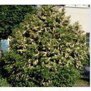 Arbuste haut persistant prunus lusitanica angustifolia
