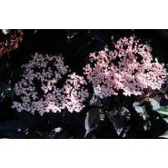 Arbuste sambucus nigra black beauty gerda