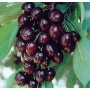 Prunus cerasus 'moreau'