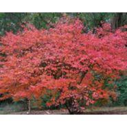 Arbuste haut caduc amelanchier canadensis